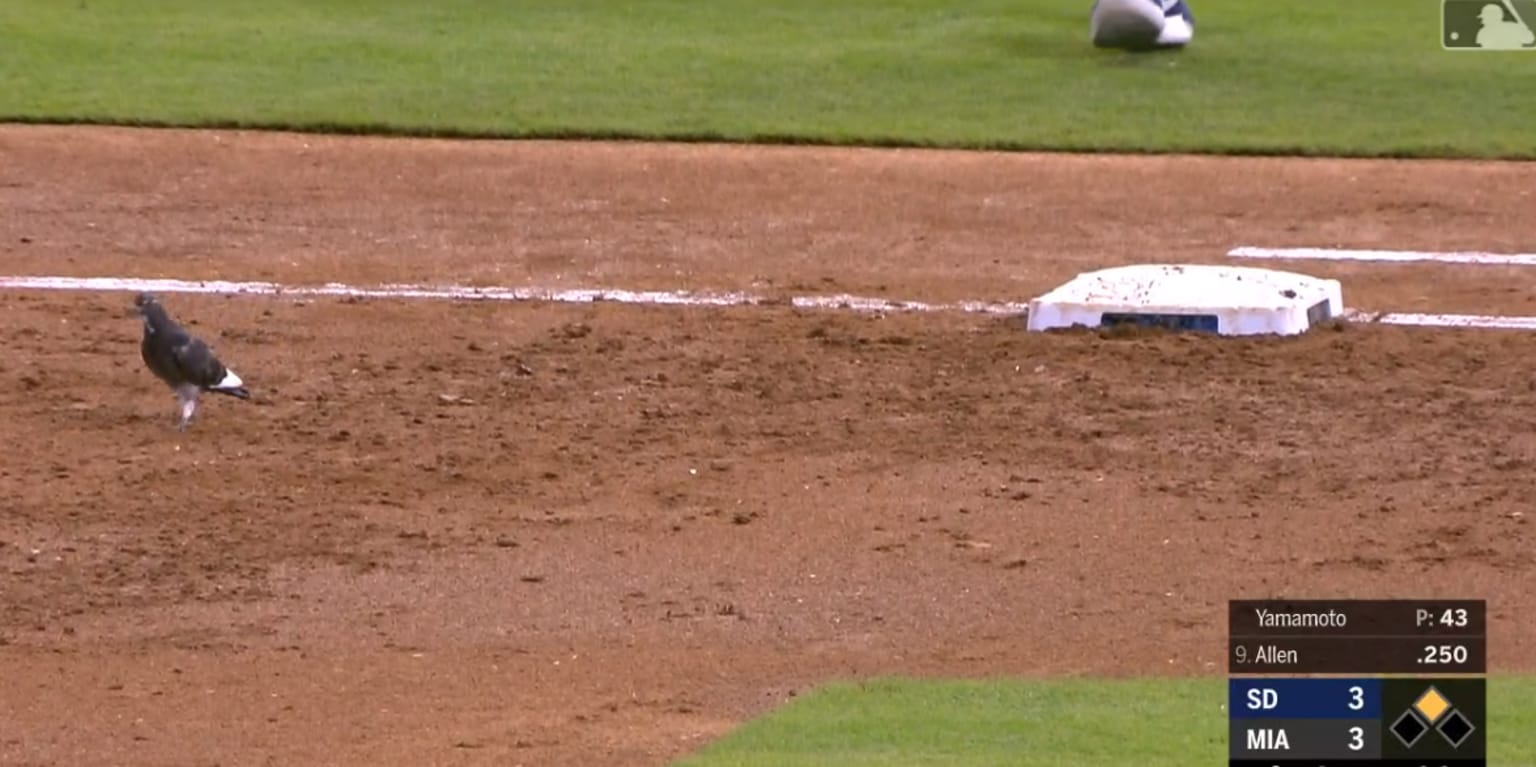 The pigeon community will tell tales of this bird's inspirational journey avoiding captors on the infield